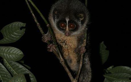 Chụp được ảnh loài linh trưởng quý hiếm nhất thế giới