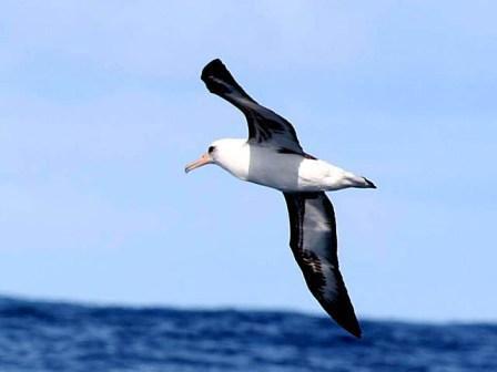 Chim hải âu đánh hơi được mồi cách xa 20 km