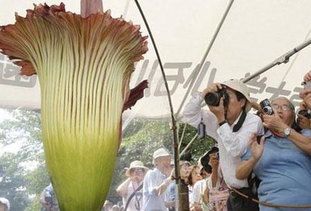 Hoa xác thối hút người xem