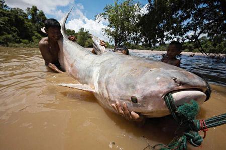 Đập trên sông Mekong đe dọa những loài cá lớn