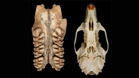 Dấu vết loài chuột 'khủng' nặng 6 kg