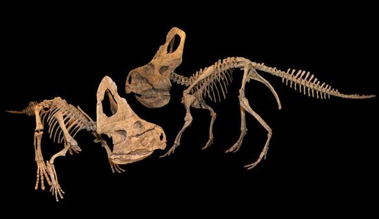 Phát hiện chủng mới khủng long Ceratopsidae