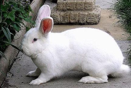 Một số điểm cần lưu ý trong chăn nuôi thỏ