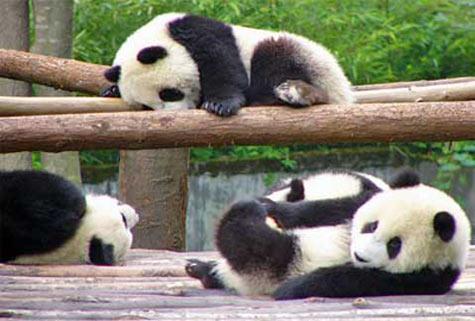 Trung Quốc bắt đền Nhật 500.000USD vì để gấu trúc chết