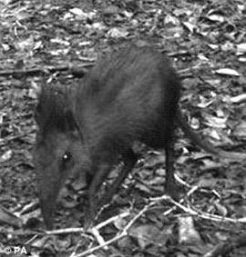 Phát hiện loài chuột chù voi kỳ lạ ở Kenya