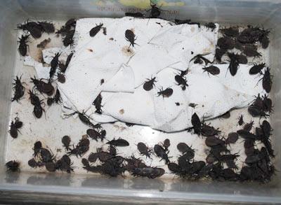 Bộ Y tế chính thức lên tiếng về bọ xít hút máu