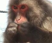 Loài khỉ biết làm sạch răng giống con người