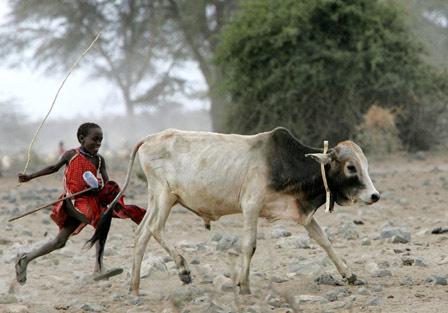 Virus gây bệnh tả ở bò đã bị tiêu diệt