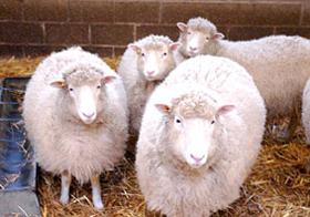 """Cừu Dolly """"hồi sinh"""""""