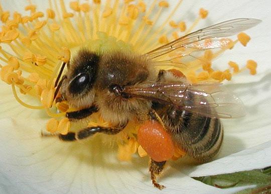 Khi ong bị mất ngủ