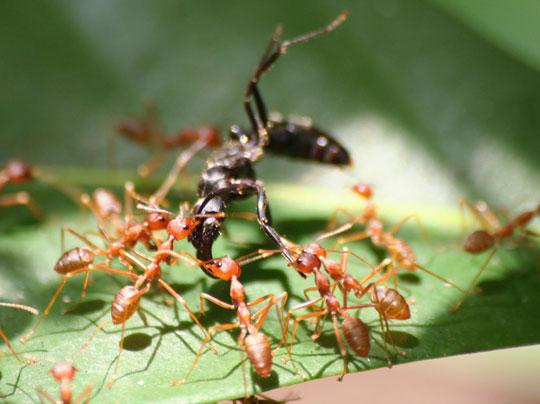 Dùng kiến vàng Oecophylla kiểm soát sâu bệnh