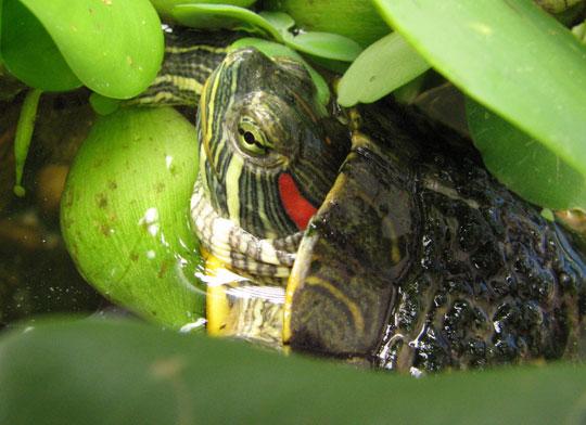 Giải pháp bắt hết rùa tai đỏ ở Hồ Gươm