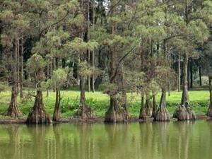 Phát hiện cây thủy tùng có thể sinh sản bằng rễ