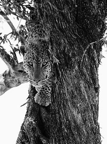 Động vật châu Phi qua ảnh đen trắng