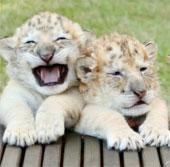 Chiêm ngưỡng lứa con lai cực hiếm giữa hổ và sư tử