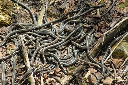 Những hố rắn ở vùng nông thôn Canada
