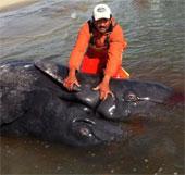 Lần đầu phát hiện cá voi xám hai đầu
