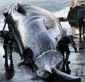 Cá voi lưng xám nguy cơ tuyệt chủng vì bia