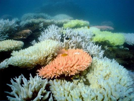 Rặng san hô lớn nhất thế giới sẽ bị xóa sổ năm 2100