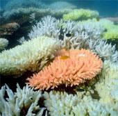 Rạn san hô lớn nhất thế giới sẽ bị xóa sổ năm 2100