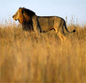 Sư tử đang biến mất tại Tây Phi