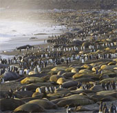 Chim cánh cụt, hải tượng chen chân ở bãi biển