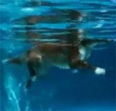 Chó không bơi chèo, mà chạy dưới nước