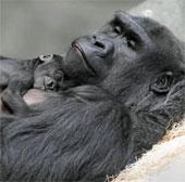 Khỉ đột mới sinh quấn quýt bên mẹ
