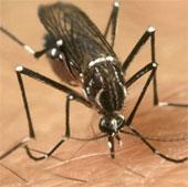"""Thử nghiệm muỗi """"cảm tử"""" chống sốt xuất huyết"""
