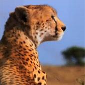 Video: Màn phối hợp săn mồi thiện nghệ của báo Cheetah