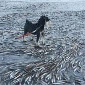 """Hình ảnh chú chó đứng trên xác hàng nghìn con cá gây """"sốc"""""""