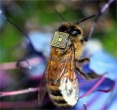 Gắn cảm biến tí hon lên ong mật