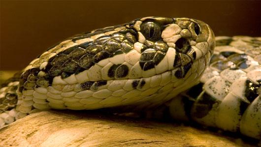 Loài rắn không chỉ ăn thịt đồng loại mà còn ăn thịt ngay chính con của mình