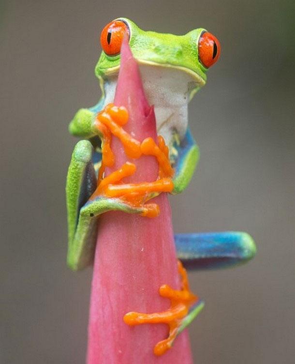 Ếch xanh mắt đỏ ở Trung Mỹ