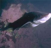 """Video: Xem bạch tuộc khổng lồ """"tỉ thí"""" với cá mập"""