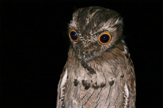 Loài chim có cặp mắt ám ảnh