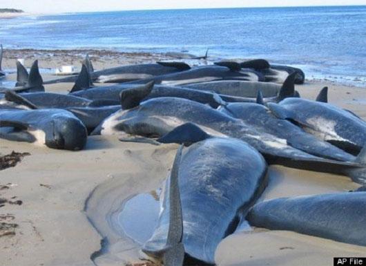 Tại vùng biển New Zealand, hơn 300 con cá heo từ đại dương đã lao mình vào bờ rồi nằm phơi thân trên bãi biển khô, nóng