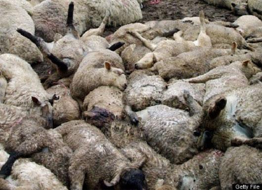 Cừu tự sát hàng loạt ở Thổ Nhĩ Kỳ
