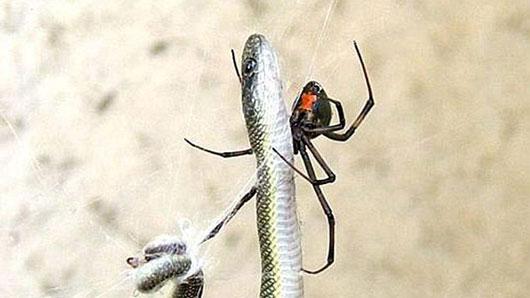 """Múa """"khêu gợi"""" giúp nhện đực tránh họa sát thân"""