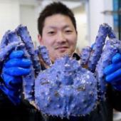 Cua hoàng đế màu tím xanh kỳ lạ ở Nhật