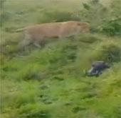 Video: Xem lợn rừng dũng mãnh đấu 2 sư tử