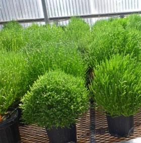 Thử nghiệm nhiên liệu sinh học từ thực vật sa mạc