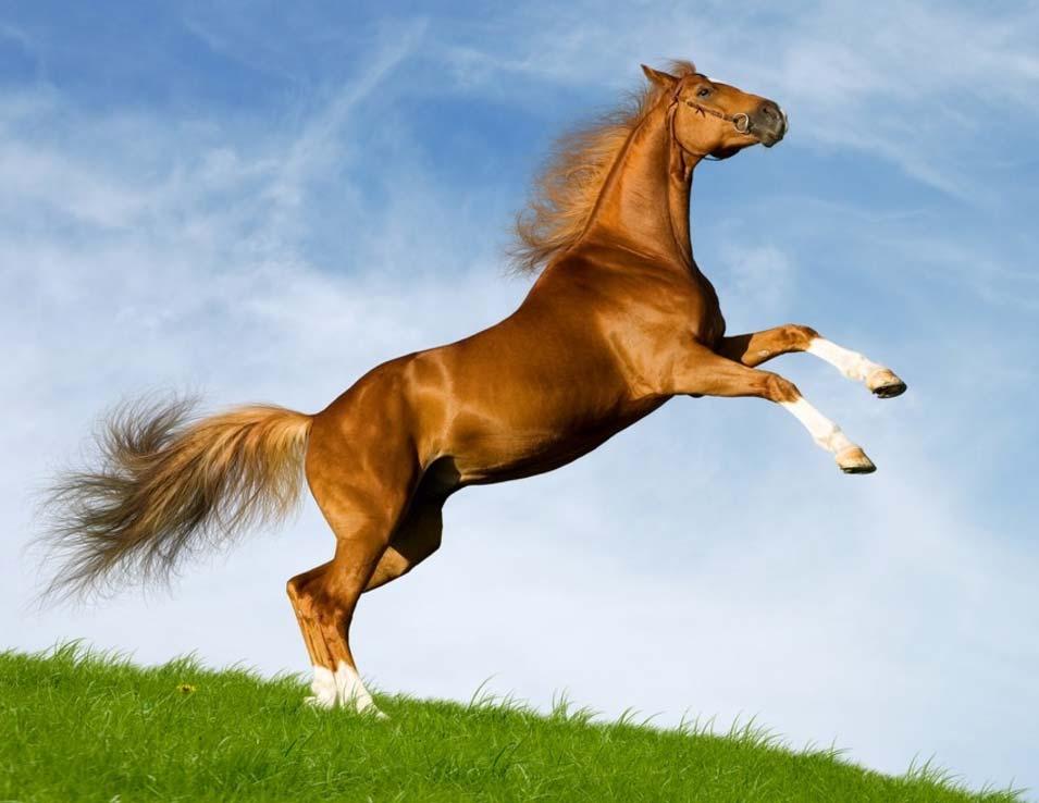 Tùy theo từng giống ngựa, vận tốc của chúng có thể dao động từ 56-70 km/h