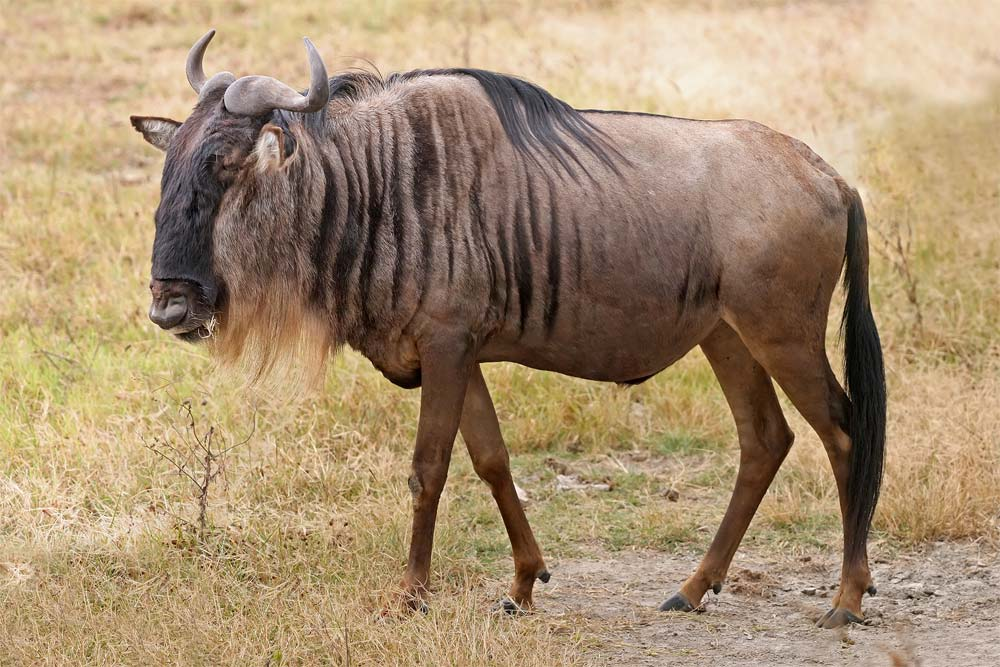 Loài này có hình dáng giống bò và linh dương, sừng ngắn và sắc.