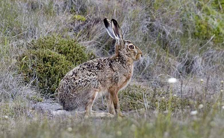 Thỏ nâu sống chủ yếu ở Anh, phía tây châu Âu, Canada, Nam và Trung Mỹ.
