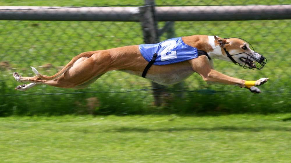 Chó Greyhound có thể đạt tốc độ 74 km/h trong 6 bước chạy.