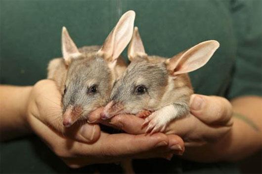Kỳ lạ loài chuột có đôi tai khổng lồ