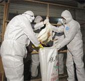 Báo động chủng virus cúm gia cầm mới H10N8