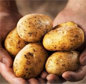 Phát hiện bí ẩn về bệnh tàn rụi ở khoai tây