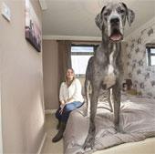 Con chó cao 2,2 mét, nặng 70kg